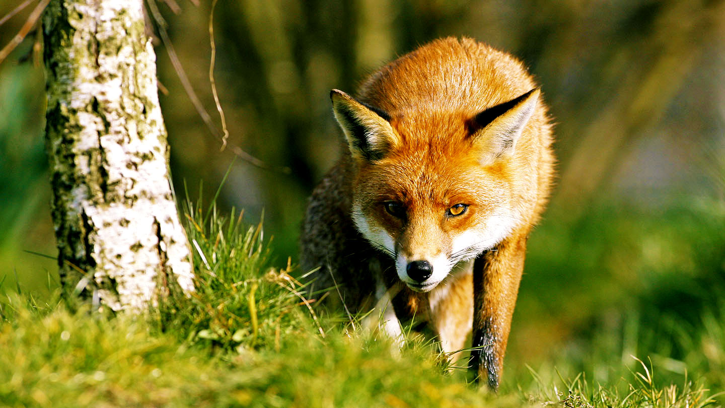 What Do Foxes Eat And More Fox Facts Woodland Trust