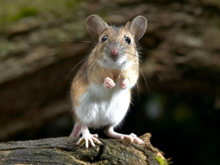 House Mouse Or Field Mouse Types Of Mice Woodland Trust