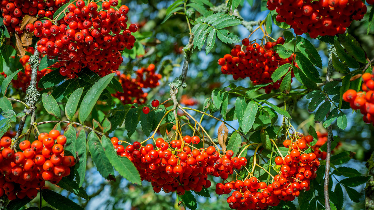 Rowan (Sorbus aucuparia) - British Trees - Woodland Trust
