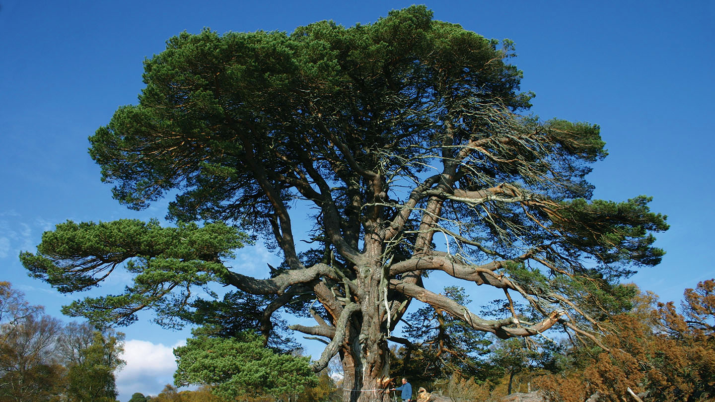 Scots Pine Pinus Sylvestris British Trees Woodland Trust